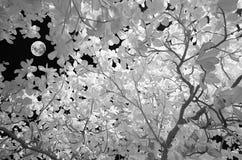 Måne som ses till och med träden Fotografering för Bildbyråer