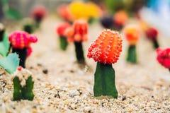 Månekaktus- eller Gymnocalyciummihanovichii, den som undergår mutation kaktuns Gra Royaltyfria Foton