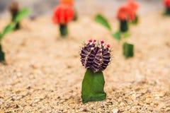 Månekaktus- eller Gymnocalyciummihanovichii, den som undergår mutation kaktuns Gra Arkivbild