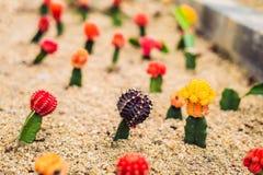 Månekaktus- eller Gymnocalyciummihanovichii, den som undergår mutation kaktuns Gra Royaltyfri Foto