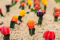 Månekaktus- eller Gymnocalyciummihanovichii, den som undergår mutation kaktuns Gra Arkivfoto