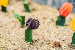 Månekaktus- eller Gymnocalyciummihanovichii, den som undergår mutation kaktuns Gra Arkivfoton
