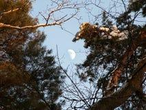 Månen i himlen och sörjer filialer royaltyfri foto