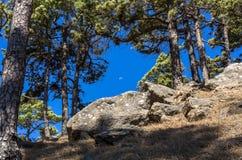 Månen på en solig dag över La Palma mellan kanariefågeln sörjer träd royaltyfria foton