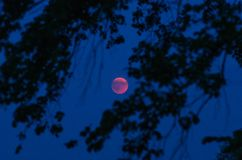 Månförmörkelse till och med konturerna av trädfilialer Royaltyfri Foto