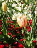 Mång--färgad tulpan Royaltyfria Bilder