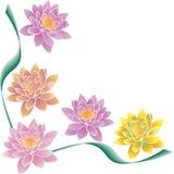 Mång--färgade lotusblommor och gräsplanremsor arkivbilder