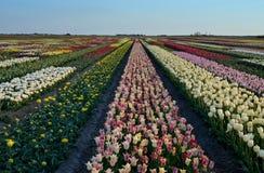 Mång--färgat blommafält i Nederländerna Royaltyfri Bild