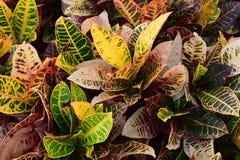 Mång- kulöra Crotonväxter Arkivbild