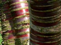 Mång--stemmed träd med det röda skället royaltyfria foton
