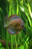 mång- tropiskt för färgad diskusfisk Royaltyfria Foton