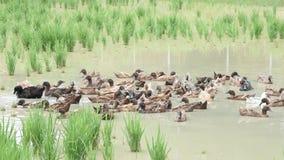 Många änder gör ren deras fjädrar på vatten i irländarefält arkivfilmer