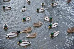 Många änder simmar med kallt vatten royaltyfri bild