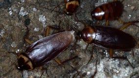 Många amerikanska kackerlackor arkivfilmer