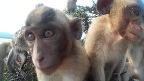 Många apor som ser kameran stock video