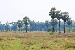Många av palmträden i bygden i Thailand Royaltyfria Bilder