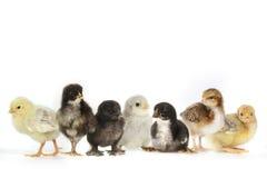 Många behandla som ett barn Chick Chickens Lined Up på vit Royaltyfria Bilder