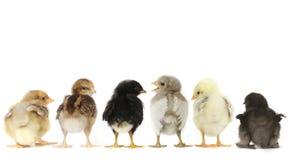 Många behandla som ett barn Chick Chickens Lined Up på vit Royaltyfri Bild
