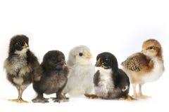 Många behandla som ett barn Chick Chickens Lined Up på vit Arkivbild