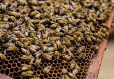 Många bi i bikupa Arkivbilder