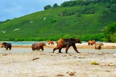 Många björnar jagar på den lösa laxen Fotografering för Bildbyråer