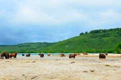Många björnar jagar på den lösa laxen på kusten Arkivbilder