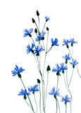 Många blått blommar på vit bakgrund Royaltyfria Foton