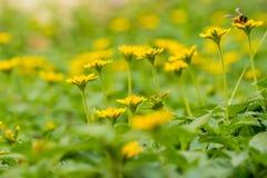 Många blommar liten guling med bin Arkivbild