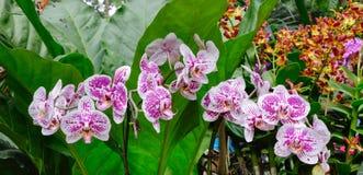 Många blommar sorten av orkidén på botaniska trädgårdarna i Singapore Royaltyfri Fotografi