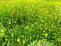 Många blommor av en röd vallmo på bakgrunden av ett gult fält för rapsfröBrassicanapus arkivbilder