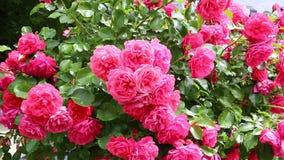 Många blommor av härliga rosa rosor