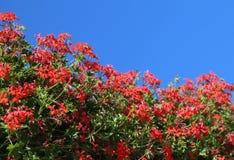 många blommor av pelargon Arkivbilder