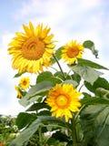 Många blommor av solrosen royaltyfria foton