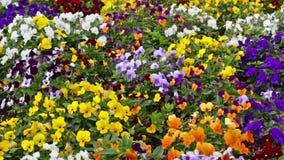 Många blommor: färgrika pansies stock video
