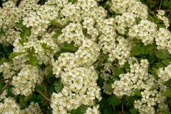 Många blomstrar vit hagtorn, den fulla ramen - Crataegusmonogyna Royaltyfria Foton