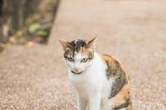 Många bryner katter Arkivfoto
