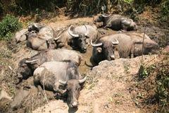 Många bufflar som ligger på gyttjan. Arkivbild