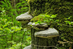 Många champinjoner på dentäckte trädstammen i skog Royaltyfria Bilder