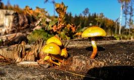 Många champinjoner växer på en stubbe royaltyfria foton