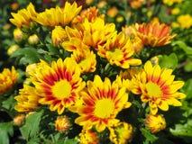 Många Closeup gul blomma royaltyfri fotografi