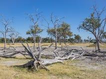 Många döda träd i härligt landskap av den Moremi nationalparken med bilen 4x4 i bakgrund, Botswana, sydliga Afrika Royaltyfria Bilder