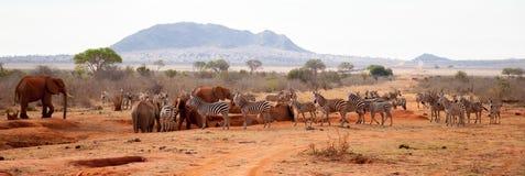 Många djur, sebror, elefanter som står på waterholen royaltyfria bilder