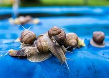Många druvasniglar på ett stycke av den blåa markisen i trädgården arkivfoton