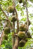 många durians tree Royaltyfria Bilder