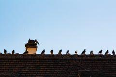 Många duvor i rad på ett tak royaltyfri foto