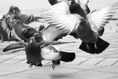 Många duvor i stadfyrkanten, vinkar dina vingar Fotografering för Bildbyråer