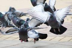 Många duvor i stadfyrkanten, vinkar dina vingar Arkivfoton