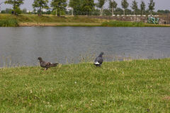 Många duvor på en sjö royaltyfri fotografi