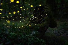 Många eldflugor i sommaren på den felika skogen Arkivfoto