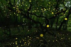 Många eldflugor i sommaren på den felika skogen Royaltyfria Foton